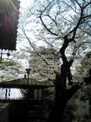 08sakura3.jpg